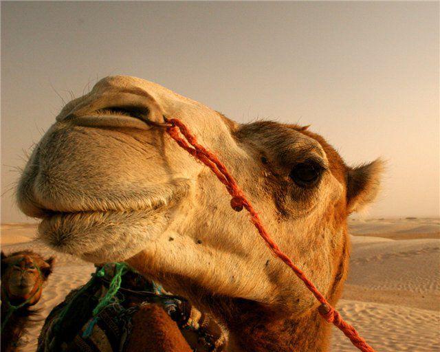 Верблюжья шерсть - один из самых теплых наполнителей для одеял и подушек.